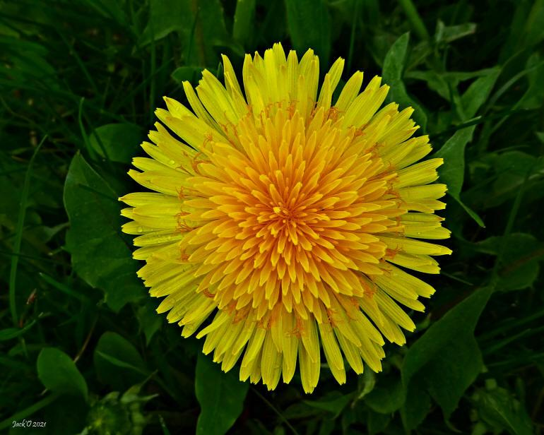 Magnifique photo d'une fleur de pissenlit