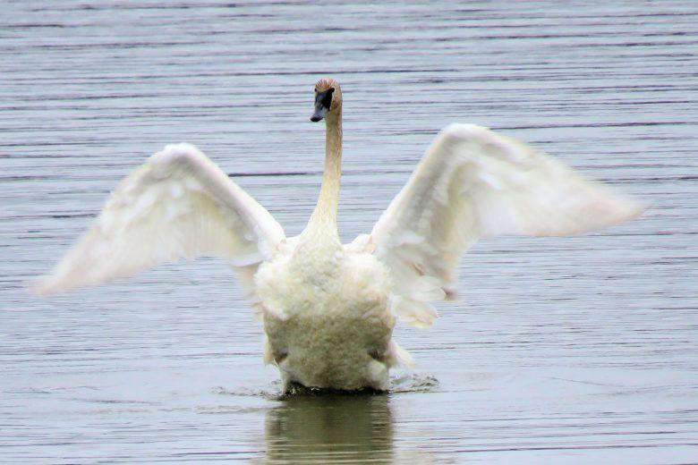 Cygne trompette étirant ses ailes
