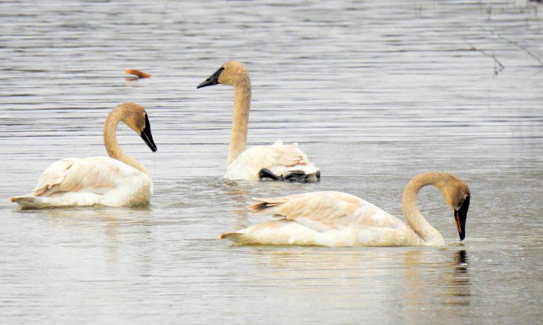 Trois cygnes trompettes au lac Hélène