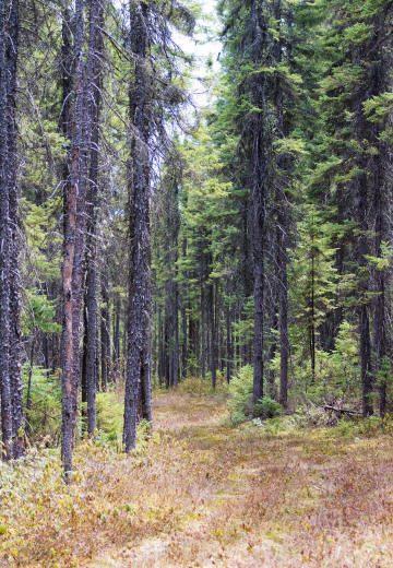 Sentier dans une forêt de conifères