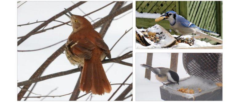 Oiseaux abitibiens