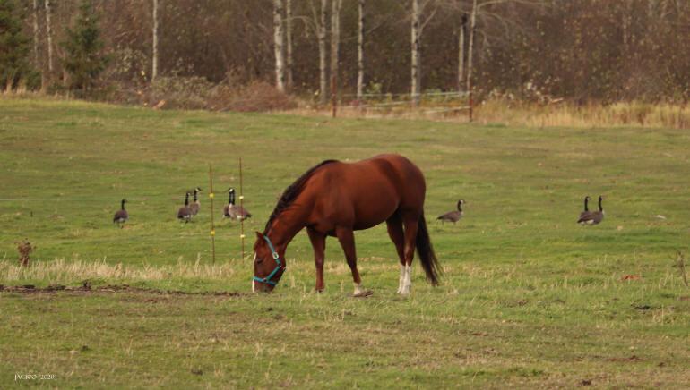 Un cheval broutant l'herbe dans un champ, avec quelques outardes posées plus loin