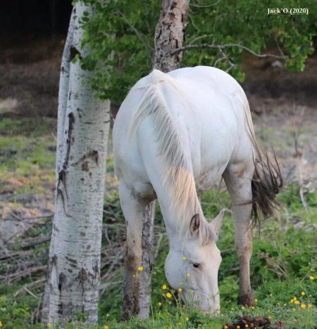 Cheval blanc broutant entre des arbres