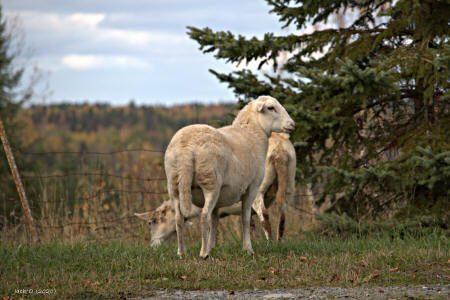 Deux moutons dans un champ, près d'une épinette