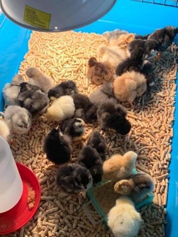 Poussins nouveaux-nés dans un bac.