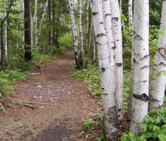 Sentier dans une forêt de bouleaux